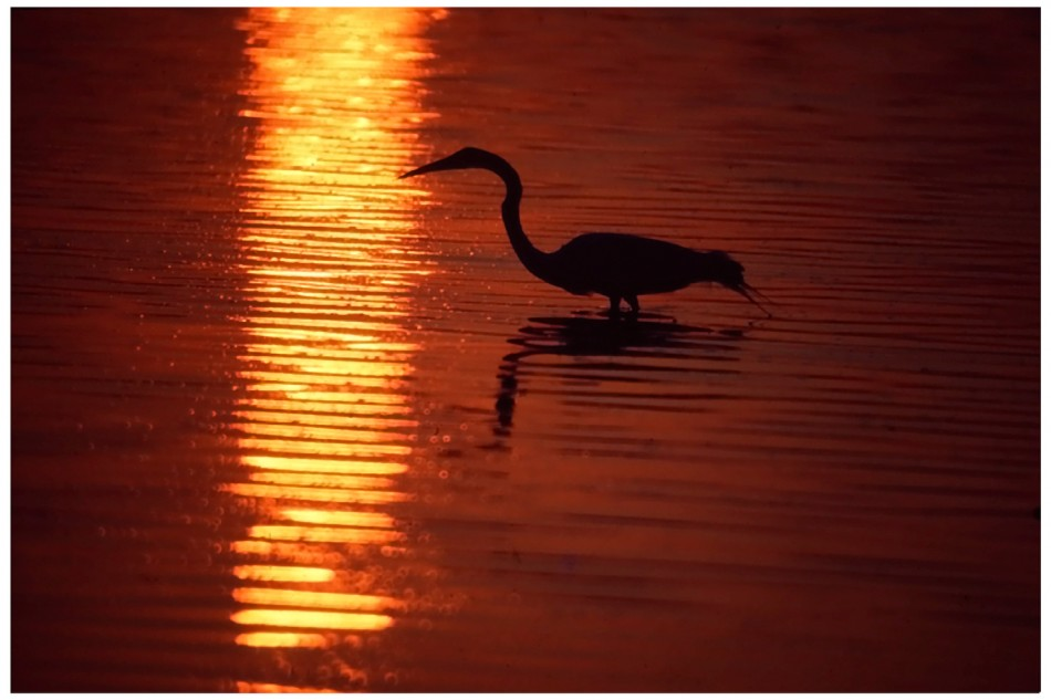 Egret - Gulf of Mexico
